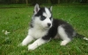 !♥ ♥ Oustanding  and cute ♥ ♥  Siberian Husky Puppies Available ♥ ♥