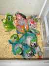 weaned baby parrots for sale