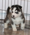 Gorgeous Siberian Husky puppies available