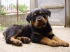 Trained Rottweiler puppies for a home