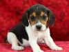 Vet checked beagle puppies available now.