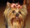 mimi a beautiful little Yorkie you will like to have