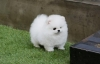 Super-Adorable-Mini-Toy-Pomeranian
