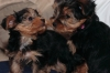 Male and Female Tea cup Yorkie Puppies 509 569-7541