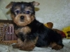 Good loving Yorkie puppies for adoption