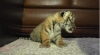 Baby Tigers for sale