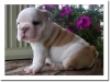 Maltese puppies available for sale