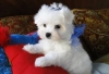 home trained maltese puppy