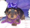 Pure Breed Male/Female Teacup Yorkie Puppies For Lovely Homes