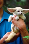 Buy Fennec fox | Online Kinkajou for sale | Available Monkeys