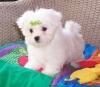 Amazing Platinum Teacup Maltese Puppies AVAILABLE!! Text or Call 218 656-7432