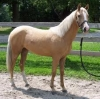 Palomino-Gelding-Horse-For-Sale