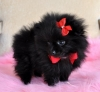Healthy Quality Pomeranian Puppies For adoption