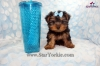 Tiny Teacup Star Yorkshire terrier Star Yorkie Puppies Available Now!!!
