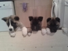 The champions are here-Pedigree Akita puppies