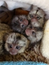 Baby Marmoset Monkeys available for Christmas