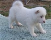 akita puppies for a home