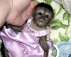 Adorable Capuchin monkeys for adoption.