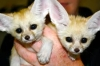 Licensed Fennec Fox  Babies For Sale-Text-206-508-5582