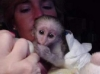 Cute Baby Capuchin Monkey available