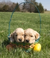 Golden Retriever Puppies 3 male and 1 female