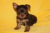 Gorgeous CKC reg. chocol​ate yorkies  chocolate carrier yorkies.