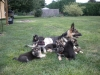 AKC German Shepard puppies available to loving homes  Text 817-617-7171