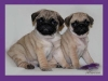 pug puppies for a loving home