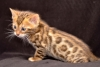 Quality-TICA-Bengals-Kittens-Available-