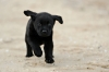 Black Labrador retrievers puppies available