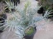 very rare! Very nice encephalartos seeds and seedlings for sale