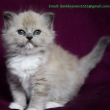 Blue-Eye-Ragdoll-Kittens-Available