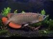 Healthy super red arowana fishes for sale.