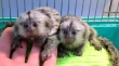 Finger Marmoset Monkeys for Adoption