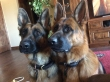 AKC German Line German Shepherd puppies