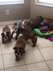 ENGLISH AND FREANCH BULLDOG PUPPIES FOR YOU