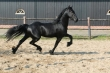 Gorgeous-black-friesian-gelding-for-sale