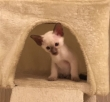 Beautiful-Siamese-Kitten-For-loving-homes-