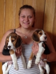 Pedigree-Beagle-Puppies-Ready-To-Go-Now