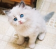 Active-Rag-doll-Kittens-For-Sale