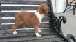 Gorgeous male boxer puppy for sale