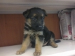 GERMAN-SHEPHERD-PUPPIES-AVAILABLE-FOR-SALE