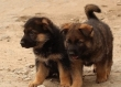 Show quality males and females German Shepherd Puppies