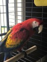 Beautiful Well Mannered Scarlet Macaw