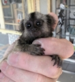 Tamed Finger Marmosets Monkeys for you