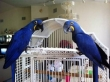 Pair of Hyacinth Macaws for sale
