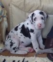 Two Great Danes for sale