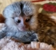 ADORABLE BABY MARMOSET MONKEYS READY NOW!