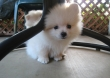 Indoor and Outdoor Trained White Pomeranian Puppies Ready Now