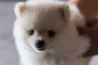 Lovely Pomeranian puppies looking for a new home